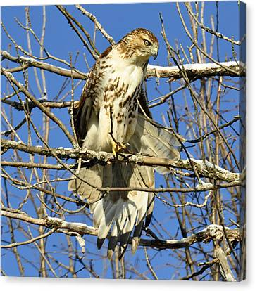 Red Tailed Hawk In Winter Canvas Print by Rodney Campbell