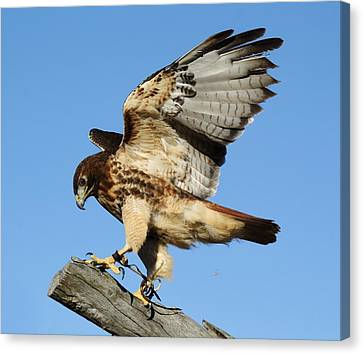 Red Tailed Hawk Canvas Print by Paulette Thomas