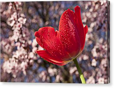 Red Tulip Against Cherry Tree Canvas Print by Garry Gay