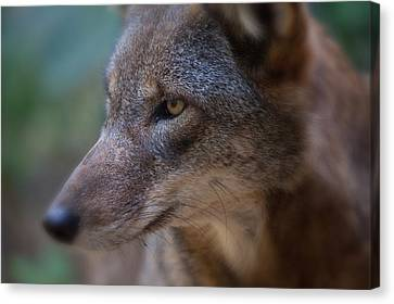 Red Wolf Stare Canvas Print by Karol Livote