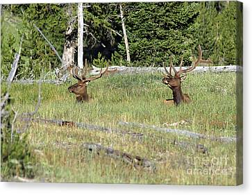 Relaxed Elk Canvas Print by Shawn Naranjo