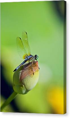 Resting On A Lily Canvas Print by Lisa  Spencer