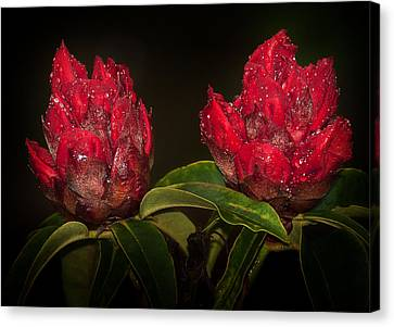 Rhododendron Canvas Print by Svetlana Sewell