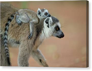 Ring-tailed Lemur Lemur Catta Baby Canvas Print by Cyril Ruoso