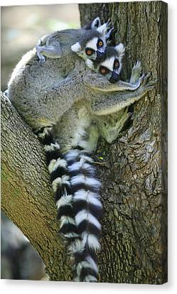 Ring-tailed Lemurs Madagascar Canvas Print by Cyril Ruoso