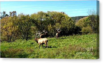 Roaming Elk  Canvas Print by The Kepharts