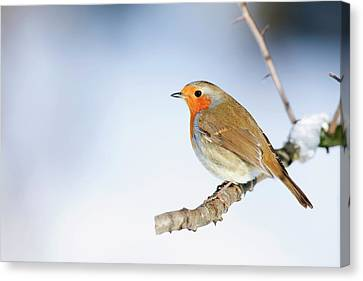 Robin (erithacus Rubecula) Canvas Print by Andrew Howe