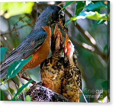 Robin Feeding Young 2 Canvas Print by Terry Elniski