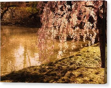 Romance - Sunlight Through Cherry Blossoms Canvas Print by Vivienne Gucwa