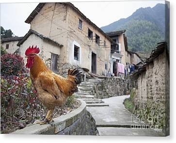 Rooster On A Roadside Wall Canvas Print by Shannon Fagan