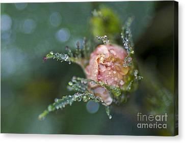 Rose Flower Series 9 Canvas Print by Heiko Koehrer-Wagner