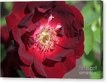 Rose Glow Canvas Print by Shawn Naranjo