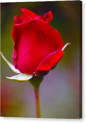 Rose I Canvas Print by DiDi Higginbotham