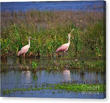 Roseate Spoonbills Canvas Print by Louise Heusinkveld