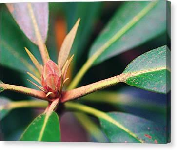 Rosebay Rhododendron Bud Canvas Print by Susie Weaver