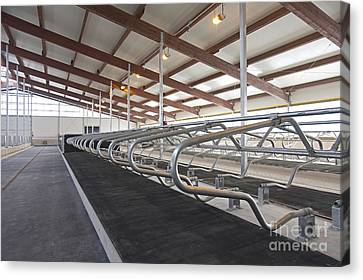 Row Of Cattle Cubicles Canvas Print by Jaak Nilson