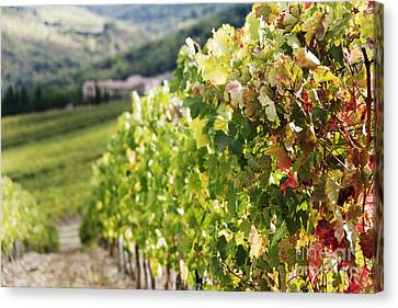 Row Of Grapevines In Vineyard Canvas Print by Jeremy Woodhouse