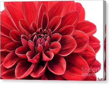 Ruby Red Canvas Print by Susan Smith