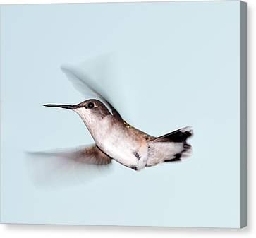 Ruby-throated Hummingbird In Flight Canvas Print by Jim McKinley