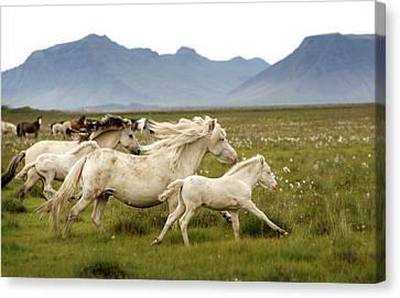 Running Wild In Iceland Canvas Print by Gigja Einarsdottir