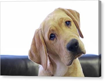 Sad Looking Yellow Lab With Head Tilted On Chair Canvas Print by Back in the Pack dog portraits
