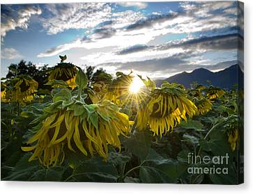 Sad Sunflowers Canvas Print by Mats Silvan