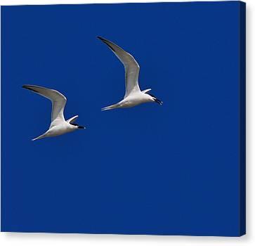 Sandwich Terns Canvas Print by Tony Beck
