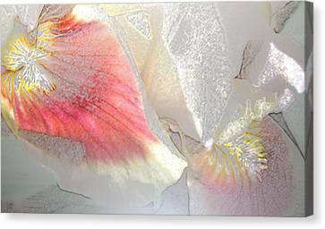 Sangria White Iris Canvas Print by Gretchen Wrede