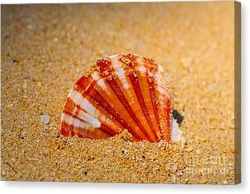Scallop Shell Canvas Print by Cheryl Young