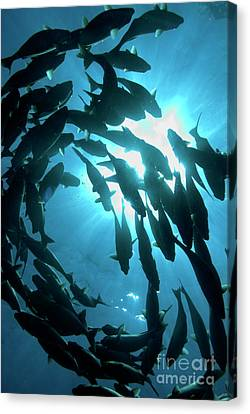 School Of Fishes Canvas Print by Sami Sarkis