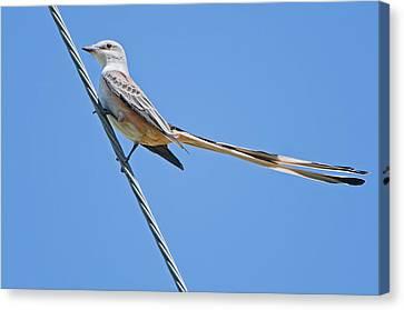 Scissor-tailed Flycatcher Canvas Print by Bonnie Barry