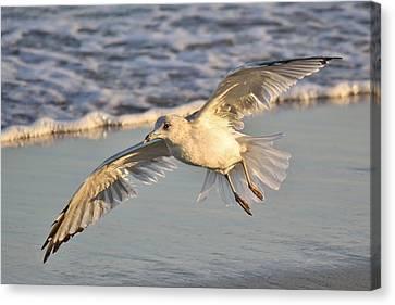 Sea Gull At Twilight Canvas Print by Paulette Thomas