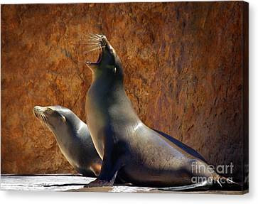 Sea Lions Canvas Print by Carlos Caetano