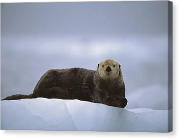 Sea Otter Enhydra Lutris Male Hauled Canvas Print by Suzi Eszterhas