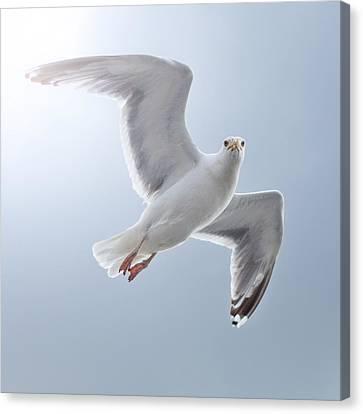 Seagull Canvas Print by Diegorivera