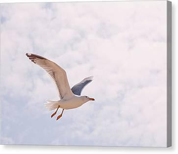 Seagull Canvas Print by Photos by Carol