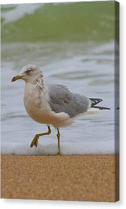 Seagull Stomp Canvas Print by Betsy Knapp