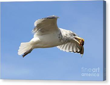 Seagull With Snail Canvas Print by Carol Groenen