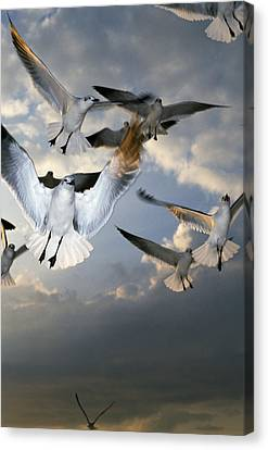 Seagulls In Flight Canvas Print by Natural Selection Ralph Curtin