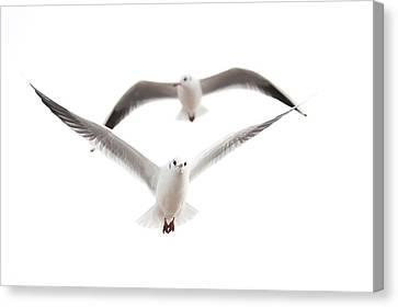 Seagulls Canvas Print by Tom Gowanlock