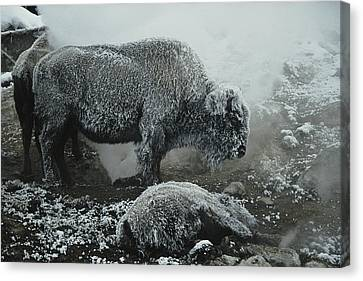 Shaggy With Rime, An American Bison Canvas Print by Michael S. Quinton