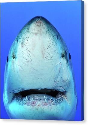 Shark Canvas Print by Don Carpenter of eurisko Photography