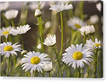 Shasta Daisy (leucanthemum 'filigran') Canvas Print by Maria Mosolova
