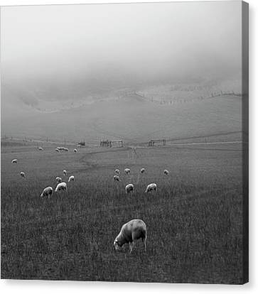 Sheep Grazing Canvas Print by Sonja Rolton