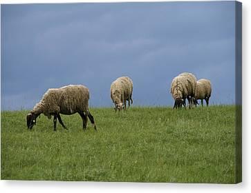 Sheep Canvas Print by Pan Orsatti