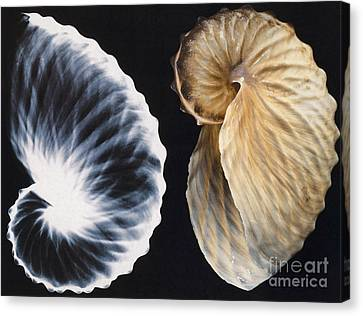 Shell X-ray Canvas Print by Photo Researchers