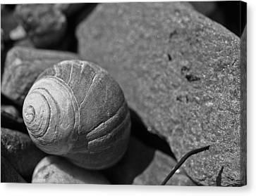 Shells II Canvas Print by David Rucker