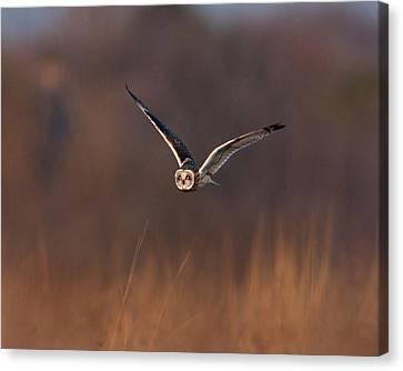 Short-eared Owl Canvas Print by Photo by DCDavis