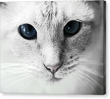 Siamese Stare Canvas Print by Wendy White