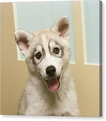 Siberian Husky Puppy In Front Of Door Canvas Print by GK Hart/Vikki Hart